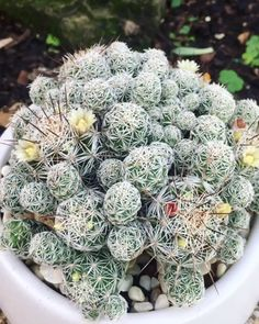 Thimble Cactus is small round bodies are densely covered with interlaced white spines. Clusters vigorously to form large mats. Indoor Cactus Plants, Types Of Cactus Plants, Garden Cactus, Kinds Of Cactus, Cactus Plant Pots, Cactus Terrarium, Cactus Flower, Cacti And Succulents, Cactus Cactus