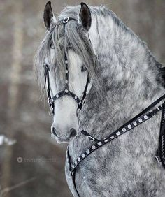 Powerful grey Andalusian Powerful grey Andalusian You are in the right place about Horse Riding Photography jumpers Here we offer you t Most Beautiful Horses, All The Pretty Horses, Animals Beautiful, Horse Photos, Horse Pictures, Andalusian Horse, Friesian Horse, Arabian Horses, Cowboy Up