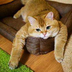 Este é Hosico, o autêntico gato de botas na vida real