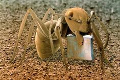 01 – A wood or heathland Ant, Formica fusca, holding a microchip