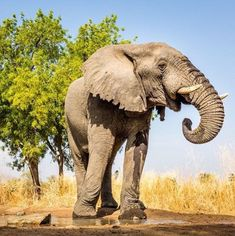 Male Elephant Love Gourmet Cooking Recipes Big Friends Personal Chef Sanctuary Majestic Animals Wildlife Conservation