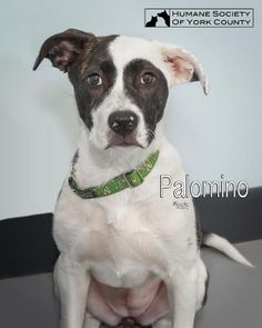 Palomino is an adoptable Terrier searching for a forever family near Fort Mill, SC. Use Petfinder to find adoptable pets in your area.