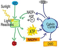 Simple diagram of the calvin cycle the light independent reaction mrs averetts classroom introduction to biochem ccuart Choice Image