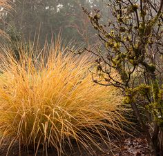 Anemanthele lessoniana  (syn. Stipa arundinacea). A wonderful grass that provides year-round colour, movement and structure. It forms a fountain-like clump of slender evergreen foliage, which emerges green, but develops irregular yellow, orange and red spotting and streaking. This colouring becomes even more intense during the colder months of the year and the overall effect is very pretty. An added bonus is the sprays of airy flowerheads, which appear in late summer. (RHS) (AGM)