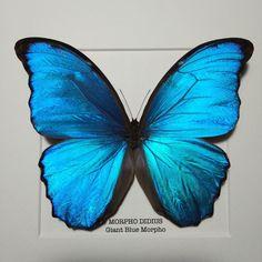 Giant Blue Morpho Butterfly Frame (40.00 GBP) by AlexsButterflies