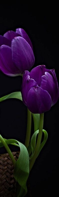 Purple Tulips - Long, Tall, Vertical Pins.