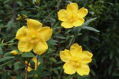 Hypericum Hidcote - Viridea