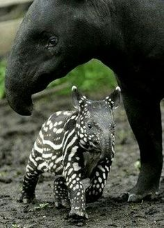 Tapir and her baby