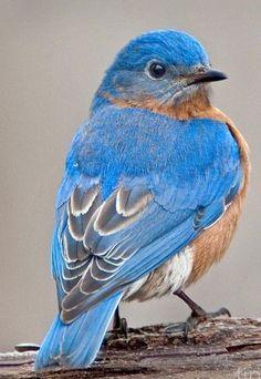 S~Bluebird.Genus: Sialia - Swainson, 1827 by Jack Nevitt Cute Birds, Pretty Birds, Small Birds, Little Birds, Beautiful Birds, Animals Beautiful, Pretty Animals, Adorable Animals, Beautiful Pictures