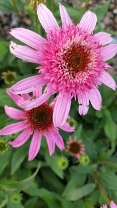 Echinacea 'Pink Double Delight'.
