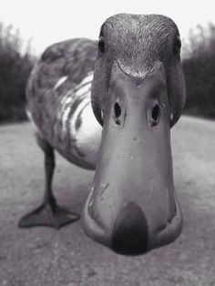 Duck Looking at You