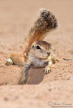 "Africa | ""Providing my own shade"" Ground Squirrel. Kgalagadi Transfrontier Park, South Africa | ©Morkel Erasmum"