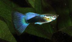 Young half-black blue