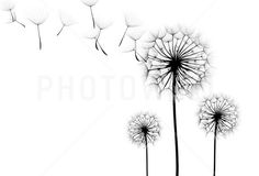 Find Dandelion Flower On White Background Silhouette stock images in HD and millions of other royalty-free stock photos, illustrations and vectors in the Shutterstock collection. Thousands of new, high-quality pictures added every day. White Dandelion, Dandelion Flower, Photos Hd, Stock Photos, Photowall Ideas, Photo Wallpaper, Wallpaper Ideas, Photo Black, Wall Murals
