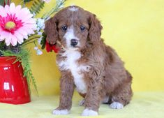 Listing Puppy for Sale Cockapoo Puppies For Sale, Mount Joy, Gender Female, Pennsylvania, Age, Animals, Animales, Animaux, Animal