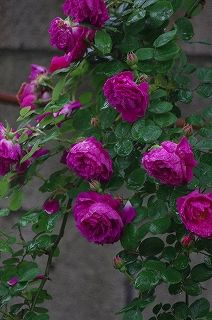 'Gypsy Boy' (1909) Bourbon/Hybrid Multiflora rose