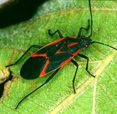 Boxelder bug basically derived its name from the boxelder tree. They love the juice that comes out of that tree. They get themselves feed on the sap of this tree only. Thus they are also known as Boxelder beetles. These bugs basically don't harm anyone rather they can cause you headaches if they fall from the tree. They more often stay in the walls of your house. They also make your house by leaving behind their feces.