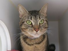 WILHELMINA WEST aka WALLY WEST - 9644 - - Manhattan  *** TO BE DESTROYED 11/08/17 *** WATCH THE VIDEO!  WILHELMINA WEST wants a home before her 1 month anniversary at MACC -  Click for info & Current Status: http://nyccats.urgentpodr.org/wilhelmina-west-aka-wally-west-9644/