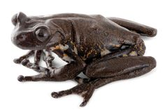 Hyloscirtus cryptico was one of two 'new' species described from highly endangered clouds forests in Ecuador.