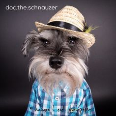 "86 Likes, 6 Comments - Doc the Schnauzer (@doc.the.schnauzer) on Instagram: ""Did you see Sherlock's Sunday Spotlight featuring me? ? If you didn't, you can use the link in…"""