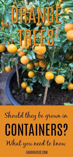 Orange Trees: Should They be Grown in Containers? Get to know the challenges associated with growing large citrus trees in containers. #citrus #orangetrees #gardening #gardeningcontainer