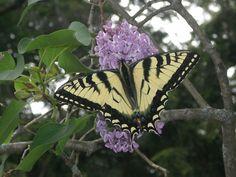 butterfles | Butterfly landed on a flower in New Hampshire | Butterfles