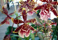 Oncidium/Dancing Ladies Orchids
