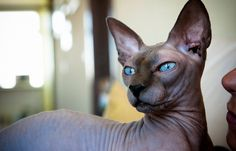 The Donskoy cat is also known as Russian Donskoy, the Don Sphynx , Don hairless and Russian hairless. These medium-sized, physical cats have little to wrinkled skin and no hair. Cool Cats, I Love Cats, Gato Peterbald, Siamese Cats, Cats And Kittens, Hairless Cats, Pet Cats, Pets, Chat Sphynx