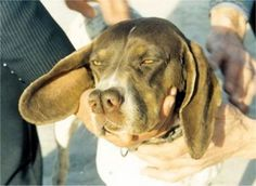 The Split-Nosed Catalburun breed is native to Turkey and is virtually unheard of outside of that country. The breed is known for its agility and stamina. Catalburuns have one of the strongest senses of scent among other members of the pointer/hunter breeds.