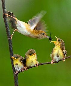 Foto de Passarinho alimentando seus filhotes