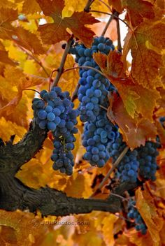 """""""Bid the last fruits to ripen/grant them two more southern days,/bring them to perfection and chase/the last sweetness into the heavy wine."""" -- Rainer Maria Rilke  Autumn Vineyard, Italy 