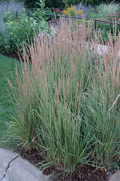 Find Variegated Reed Grass (Calamagrostis x acutiflora 'Overdam') in Moorestown Delran Laurel Cinnaminson Philadelphia New Jersey NJ at Flagg's Garden Center (Feather Reed Grass) Perennial Grasses, Herbaceous Perennials, Ornamental Grasses, Container Plants, Container Gardening, Town And Country Gardens, Feather Reed Grass, Landscape Nursery, Gardening Zones