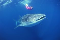 Swim with whale sharks, gentle giants of the sea, in Holbox, Mexico