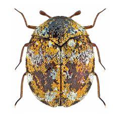 Anthrenus flavipes é uma espécie de besouro na família Dermestidae, conhecida pelo nome comum de carpete mobiliário. Tem uma distribuição cosmopolita,  ocorrendo em todo o mundo, sendo mais ativo em climas mais quentes. É uma praga que danifica materiais domésticos, como têxteis.