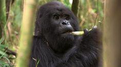 Climate Diaries: Drought threatening African mountain gorillas.