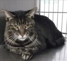 December is an adoptable Domestic Short Hair Cat in Silverdale, WA.  Primary Color: Brown Tabby Secondary Color: Grey Weight: 10.8 Age: 0yrs 0mths 0wks  Animal has been Spayed...