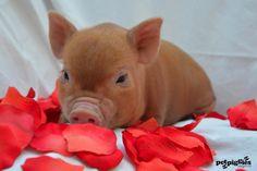 Blog | Petpiggies | Micro Pigs : Micro Pigs For Sale : Mini Pigs ...