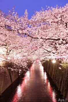 毎年恒例、目黒川沿いに咲くサクラを見にお出かけ