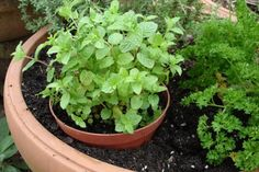 Growing mint is easy—sometimes too easy. Learn to plant, grow, and control mint in your garden. Growing mint in containers is usually your best bet. Growing Cucumbers, Herbs, Growing Raspberries, Growing Herbs, Plant Care, Container Gardening, Growing Mint, Fragrant Plant, Mint Plants