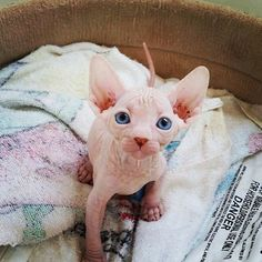 28 Sphynx Cats That Are Terrifyingly Cute
