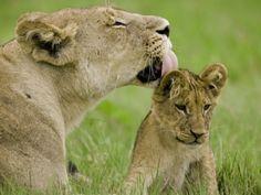 Lion cub being groomed by mom; Duba, Okavango Delta, Botswana. By Beverly Joubert.