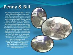 Meet Penny and Bill a Petfinder adoptable Maine Coon Cat | Tallahassee, FL | Petfinder.com is the world�s largest database of adoptable pets and pet care information. Updated daily, search Petfinder for one of over 300,000 adoptable pets and thousands of pet-care articles!