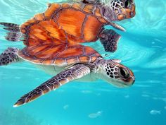 Marine Turtle in Moorea, French Polynesia by Pierre Lesage,