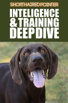 Think Shorthaired Pointers are slow learners and difficult to train? Not sure the best way to communicate with your dog or puppy? Check out our video looking at their intelligence and training tips. More dog breed information at Fenrir Canine Leaders and Fenrir Canine Show! German Dog Breeds, Large Dog Breeds, Large Dogs, Types Of Intelligence, Pointer Puppies, Giant Schnauzer, German Shorthaired Pointer, Weimaraner, Hunting Dogs