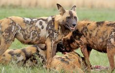 African wild dog (Lycaon pictus) | Photo: African Wild Dog, Lycaon pictus.