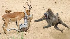 Incredible Baboons Save Impala From Cheetah Attack In - You wouldn't believe https://youtu.be/rImr3sfsivo