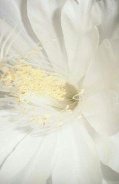 Flor que só desabrocha a noite, no meu quintal  essa tirada com flash. Descrevendo essa flor- parece um vestido de noiva. Lindíssima obra do Nosso Criador.