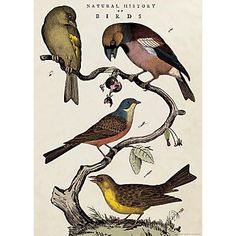 Cavallini Natural History Birds Wrapping Paper - Paper Source