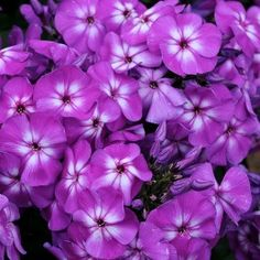Phlox Purple Kiss Starter Plant £2.50