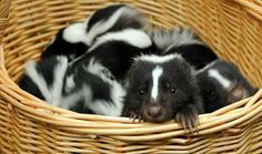 Your morning adorable: Baby skunks make their debut at German zoo ...